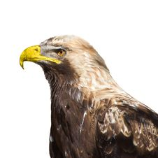 Free Eagle 2796 Royalty Free Stock Images - 14794619