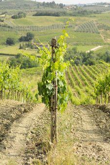 Free Chianti S Vineyard Stock Photography - 14794682
