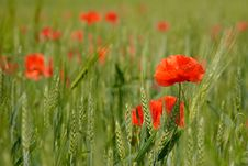 Free Red Poppies Stock Photo - 14794990