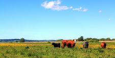 Free Cows Stock Photos - 14796193