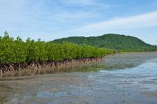 Free Mangrove In Thailand Royalty Free Stock Image - 14796946