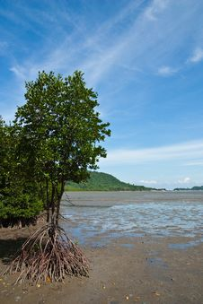 Free Mangrove In Thailand Royalty Free Stock Photos - 14797028