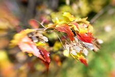 Сolorful Autumn Maple Leaves And Seeds Stock Photo