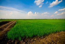 Free Rice Grass Stock Photos - 14797373