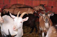 Free Goats Stock Photo - 14797390