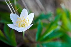 Free Wood Anemone Stock Images - 14797994