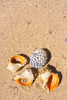 Free Cockleshells On Sand Royalty Free Stock Photos - 14798228