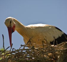 Free Caring Mother Stork Royalty Free Stock Photos - 14798458
