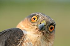 Free Birds Of Europe And World - Sparrow-hawk Stock Images - 14798504