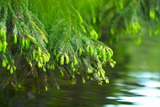 Free Fir-tree Stock Photography - 14798532