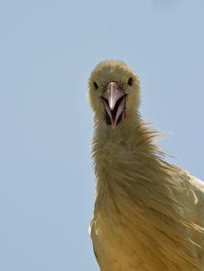 Free Juvenile Ugly Stork Royalty Free Stock Photos - 14798588
