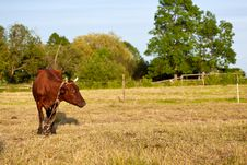 Free Brown Cow Royalty Free Stock Photography - 14798777