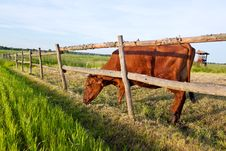 Free Cow And Fresh Grass Stock Images - 14798874