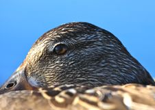 Free Vigilant Duck Eye Stock Image - 14799871