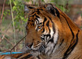Free Male Tiger Royalty Free Stock Image - 1488096