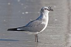 Laughing Gull Stock Image