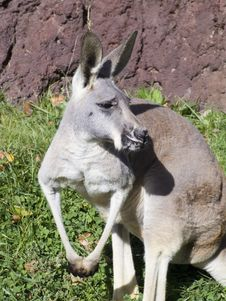 Free Kangaroo Stock Photography - 1481352