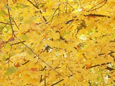 Free Maple Tree In Fall Time Royalty Free Stock Images - 1482219