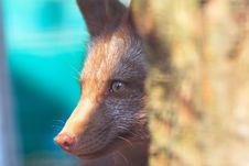 Free Fox Peek 3 Stock Image - 1482531