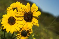 Free Sunflowers Stock Photos - 1483053