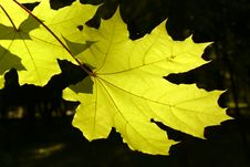Free Two Maple Leaves Of Green Color Stock Photo - 1484040
