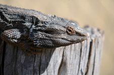 Free Bearded Dragon Stock Photo - 1484450
