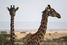 Free Pair Of Giraffes Stock Photography - 1484612