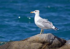 Free Seagul On A Rock Stock Photos - 1484633