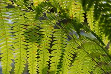 Backlit Fern Royalty Free Stock Photo