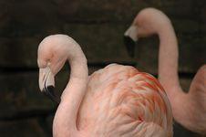 Free Flamingo 2 Royalty Free Stock Photos - 1485538