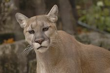 Free Mountain Lion Royalty Free Stock Image - 1485636