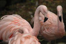 Free Flamingo 7 Royalty Free Stock Photography - 1485687