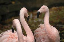 Free Flamingo 8 Stock Photography - 1485692