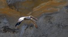 Free Colorful White Pelican In Flight Royalty Free Stock Photos - 1485788
