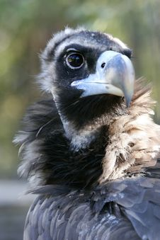 Head Of Vulture Stock Images