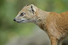 Free Mongoose Royalty Free Stock Image - 1486646