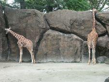 Free Giraffes Stock Photo - 1486700