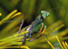 Free Crying Mantis Stock Images - 1487494