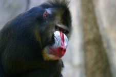 Free Male Mandrill Stock Image - 1488081
