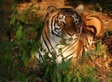 Free Female Tiger Royalty Free Stock Photos - 1488088