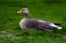 Free Resting Duck Royalty Free Stock Photography - 1488387