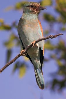 European Roller Royalty Free Stock Photography