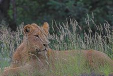 Free Young Lion Royalty Free Stock Photography - 1489027