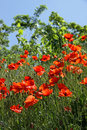 Free Red Poppies Stock Images - 14803354