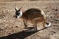 Free Australian Kangaroo Royalty Free Stock Images - 14804679
