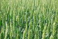 Free Ears Of Wheat Royalty Free Stock Photos - 14806418