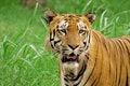 Free Siberian Tiger Closeup Stock Photography - 14808502
