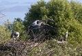 Free Great Blue Heron Royalty Free Stock Photos - 14809598