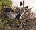 Free Great Blue Heron Stock Image - 14809621