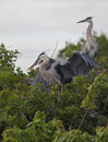 Free Great Blue Heron Royalty Free Stock Images - 14809639